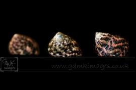 Macro image of 3 seashells in colour