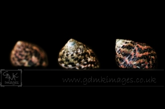 Macro image of 3 seashells in colour