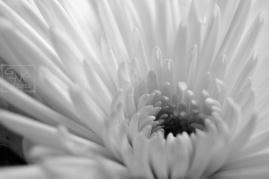 Black and white chrysanthemum flower