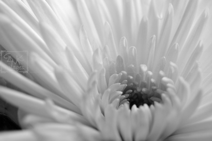 Black and white chrysanthemum flower