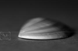 black and white seashell macro