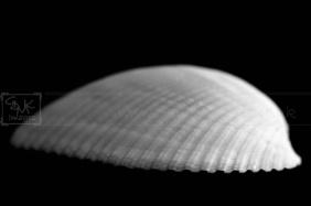 black white seashell fine art