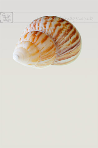 Brown White Shell Macro seashell