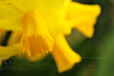 closeup of 3 yellow daffodil flowers