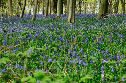 Bluebells flowers and trees