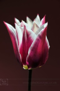 Purple and White Tulip Closeup image