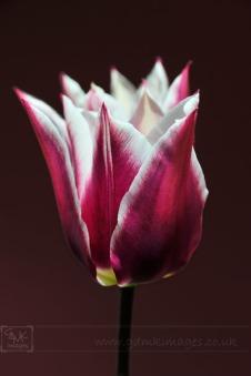 Purple and White Tulip Closeup image