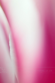 Purple and White Tulip Extreme Closeup Fine Art Image