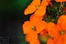 Wildflower garden orange wallflower