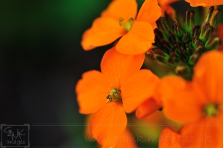 Wildflower garden orange wallflower