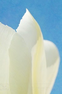 Digital Art Textured Creme Yellow Tulip Closeup Powder Blue Background