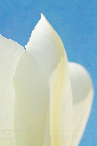 Digital Art Textured Creme Yellow Tulip Closeup Powder Blue Background