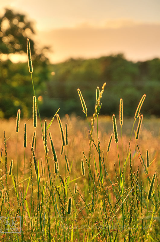 Tall grasses backlit by summer evening light