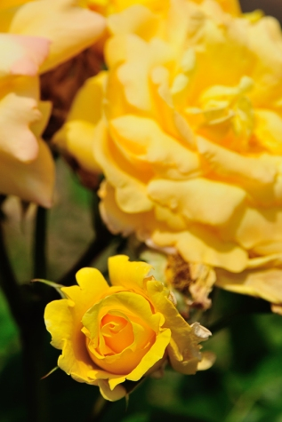 Weekly Colour Project - Yellow Rose