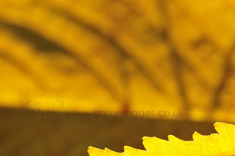 Backlit leaf taken with tamron 90mm lens and extension tubes